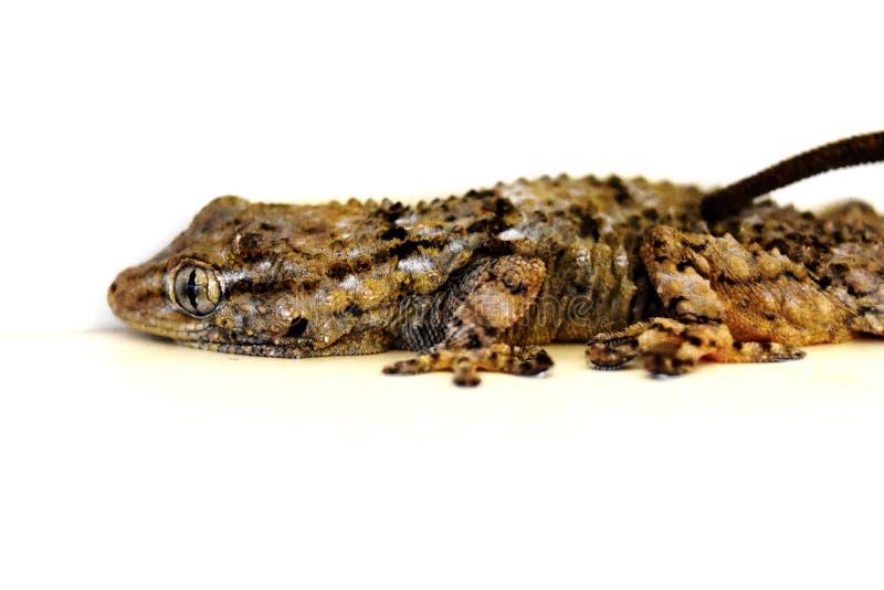 Πραγματικά καταπληκτικός στενός επάνω πυροβολισμός ενός gecko στοκ εικόνες