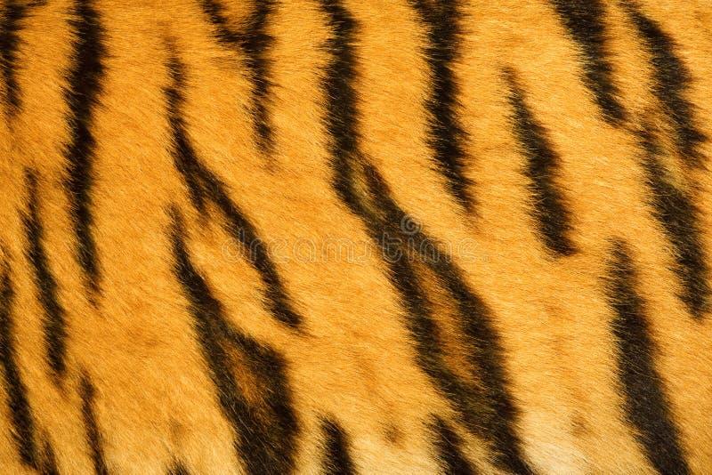πραγματική τίγρη σύστασης &ga στοκ φωτογραφία με δικαίωμα ελεύθερης χρήσης