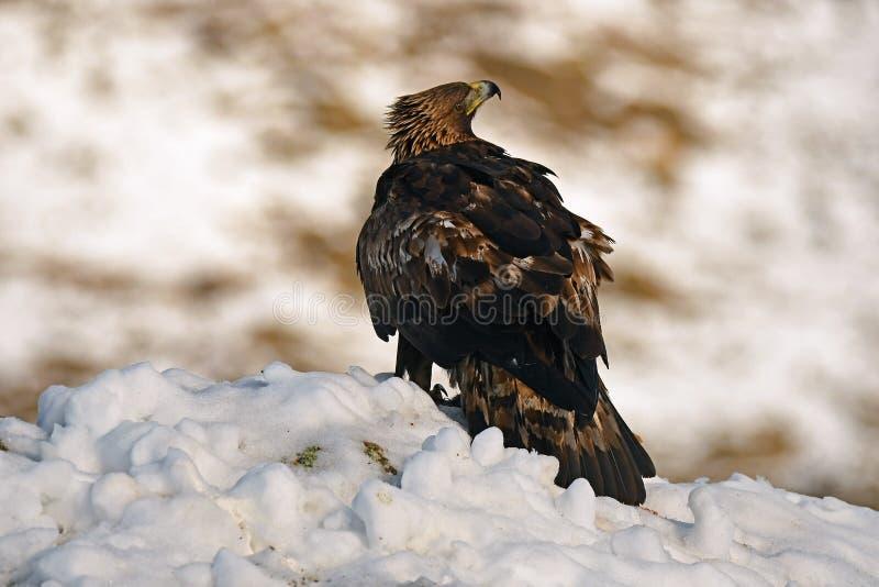 Πραγματικός αετός με τα ρολόγια θηραμάτων του στο χιόνι στοκ φωτογραφία με δικαίωμα ελεύθερης χρήσης