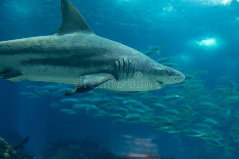 Πραγματικός καρχαρίας τιγρών άμμου υποβρύχιος στο φυσικό ενυδρείο στοκ εικόνα