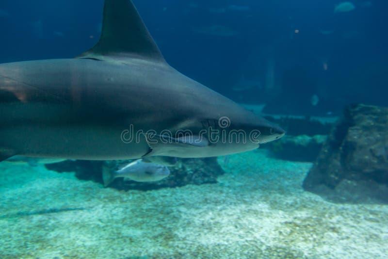 Πραγματικός καρχαρίας υποβρύχιος στο φυσικό ενυδρείο στοκ φωτογραφίες με δικαίωμα ελεύθερης χρήσης