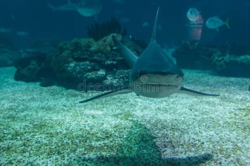 Πραγματικός καρχαρίας υποβρύχιος στο φυσικό ενυδρείο στοκ εικόνα με δικαίωμα ελεύθερης χρήσης