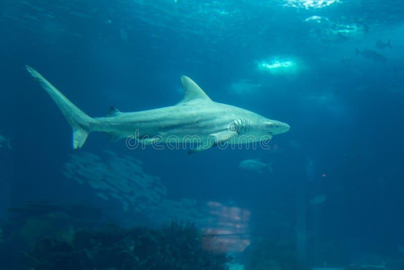 Πραγματικός καρχαρίας υποβρύχιος στο φυσικό ενυδρείο στοκ φωτογραφία με δικαίωμα ελεύθερης χρήσης
