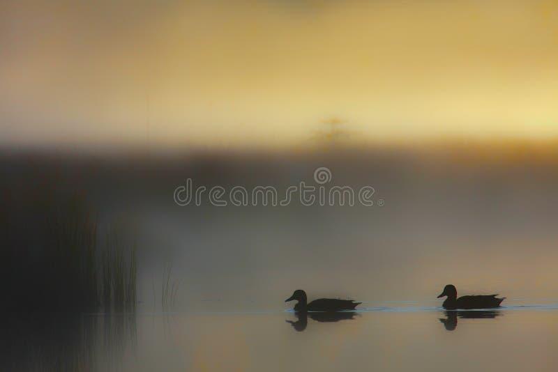 Πρασινολαίμες που κολυμπούν σε μια ομιχλώδη λίμνη στοκ φωτογραφία με δικαίωμα ελεύθερης χρήσης