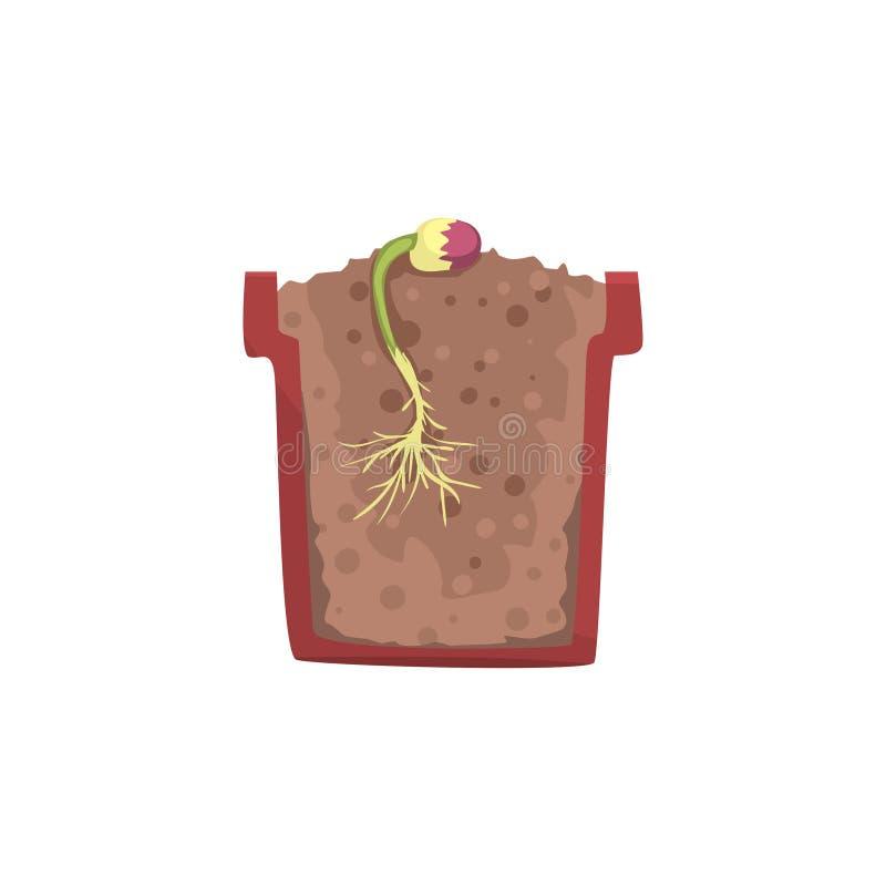 Προέλευση εγκαταστάσεων από το σπόρο ενός φασολιού σε ένα δοχείο με το επίγειο χώμα, στάδιο της αύξησης, δοχείο σε μια διανυσματι απεικόνιση αποθεμάτων