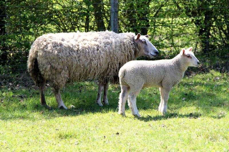 Προβατίνα και cub της στοκ φωτογραφίες