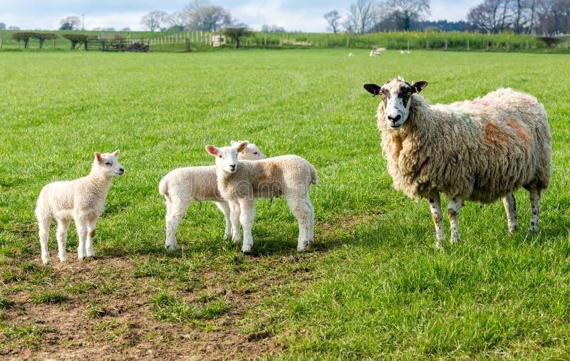 Προβατίνα Dalesbred, πρόβατα μητέρων με τρία αρνιά στην άνοιξη στοκ φωτογραφία με δικαίωμα ελεύθερης χρήσης