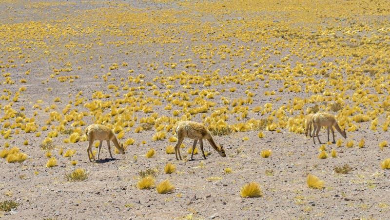 Προβατοκάμηλοι στις των Άνδεων ορεινές περιοχές στοκ εικόνα