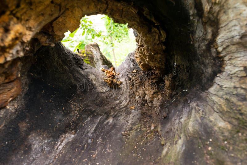 Προβολή από το εσωτερικό ενός κοίλου δέντρου - επιλεκτική εστίαση στοκ εικόνες με δικαίωμα ελεύθερης χρήσης