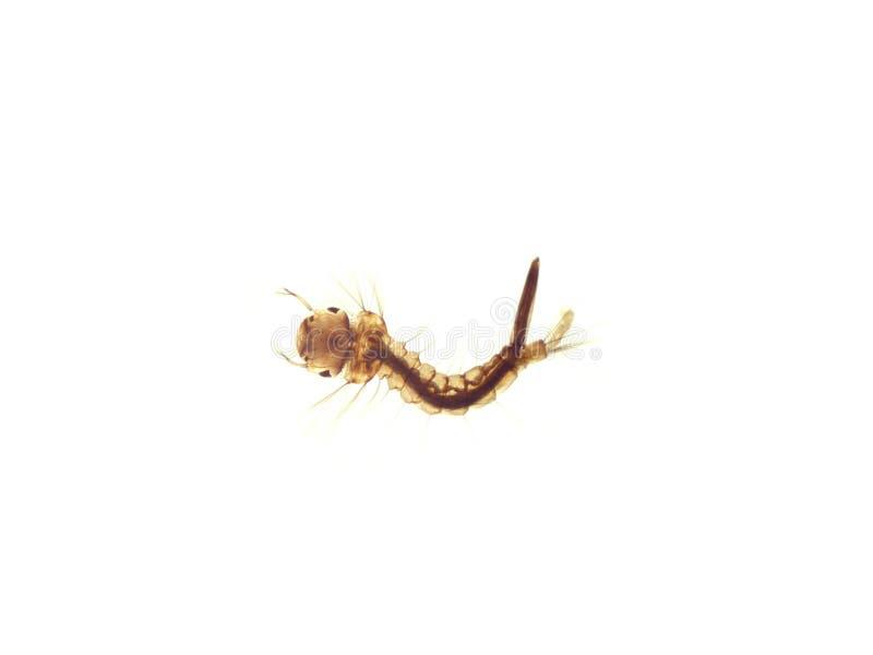 Προνύμφη κουνουπιού στοκ φωτογραφία με δικαίωμα ελεύθερης χρήσης