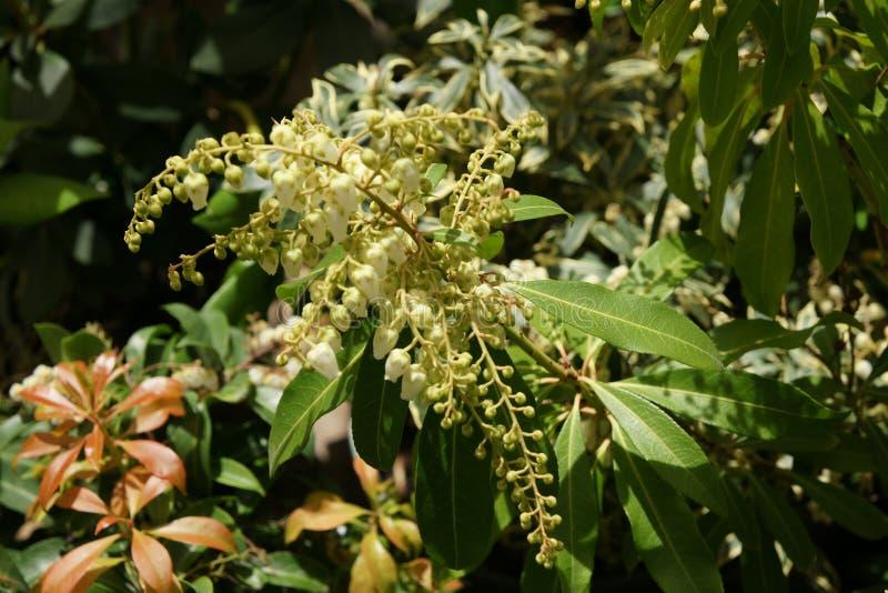 Προοίμιο ιαπωνικό Pieris, japonica «προοίμιο» Pieris στοκ φωτογραφία