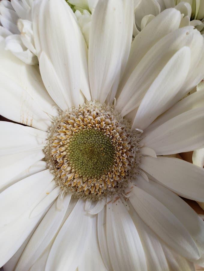 προσέγγιση στο άσπρο λουλούδι, το υπόβαθρο και τη σύσταση gerbera στοκ εικόνα