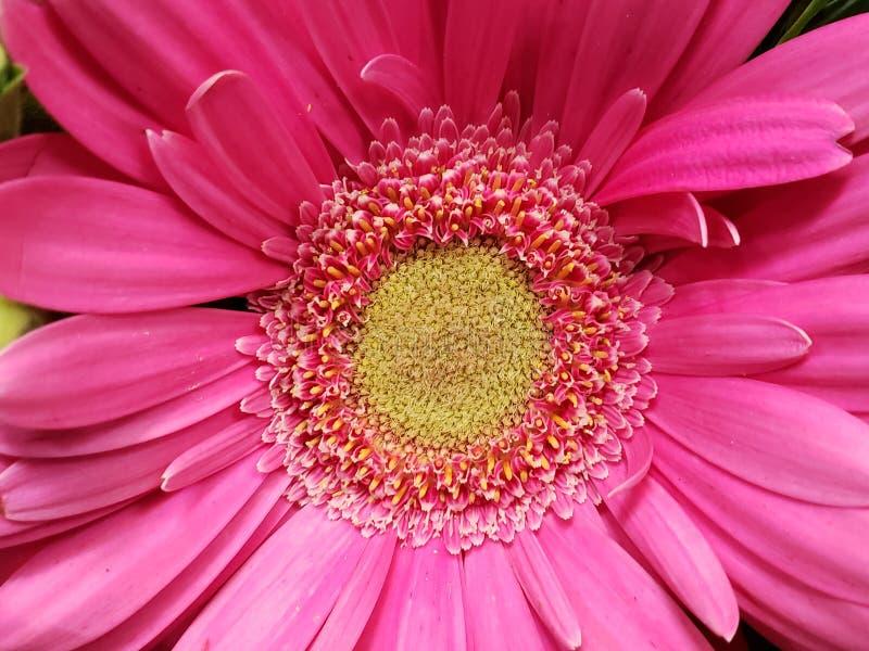 προσέγγιση στο ρόδινο λουλούδι, το υπόβαθρο και τη σύσταση gerbera στοκ εικόνα με δικαίωμα ελεύθερης χρήσης
