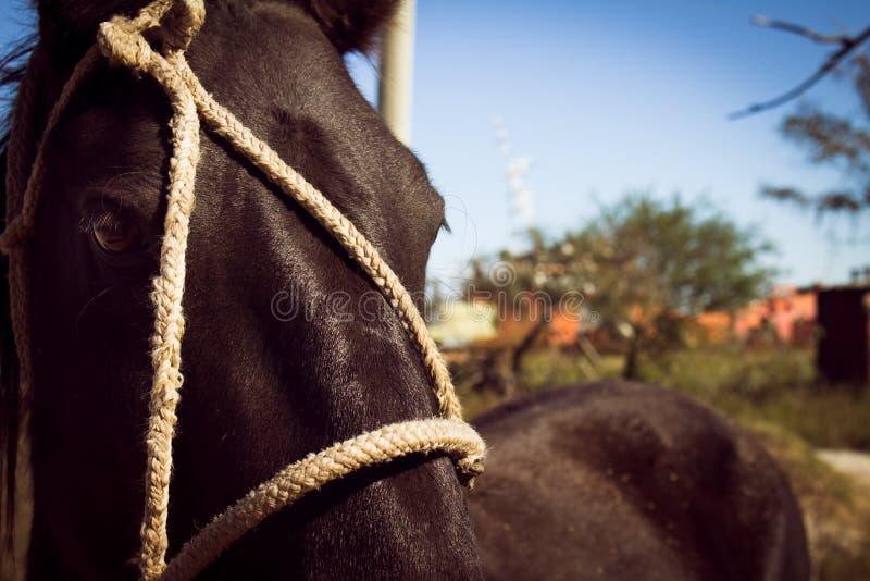 Προσέγγιση του κεφαλιού ενός μαύρου αλόγου που δένεται με τα σχοινιά στοκ φωτογραφία με δικαίωμα ελεύθερης χρήσης