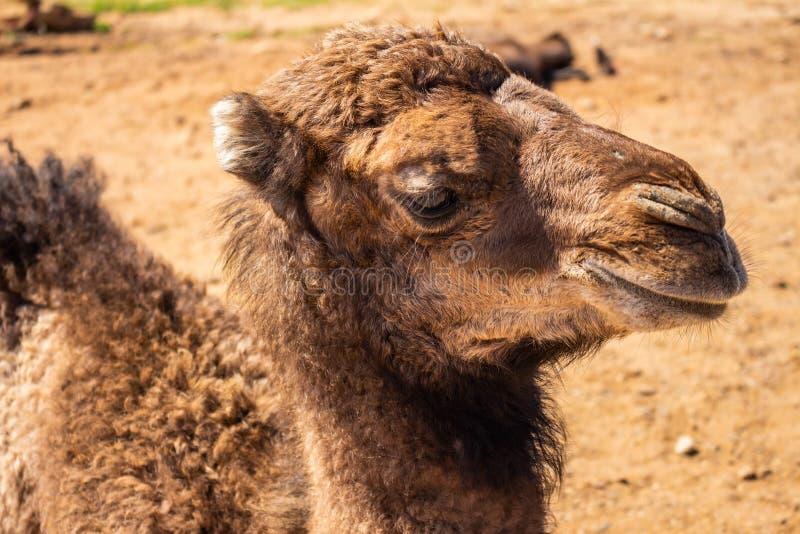 Προσέγγιση του κεφαλιού μιας καμήλας Τεράστια μαστίγια στα καφετιά μάτια μιας νεολαίας dromedary στοκ εικόνα με δικαίωμα ελεύθερης χρήσης