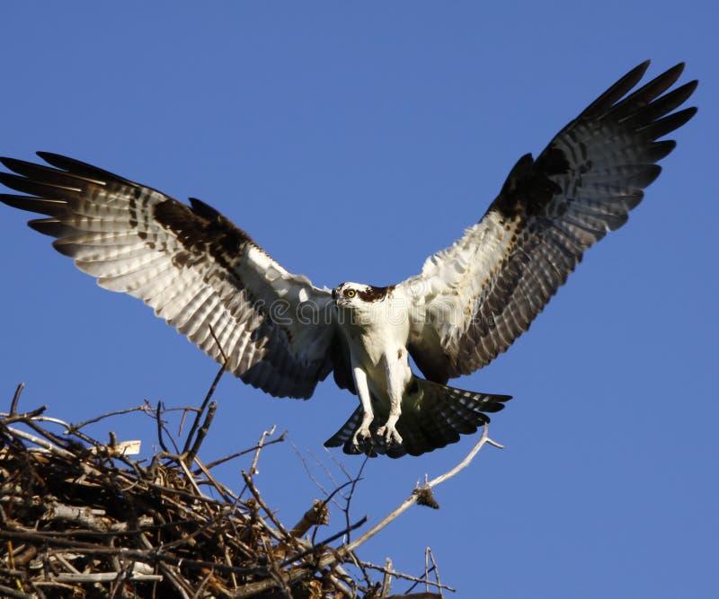 προσγειωμένος φτερά osprey φω&lam στοκ εικόνες