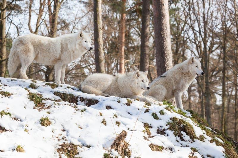 Αρκτικό πακέτο λύκων σε έναν λόφο το χειμώνα στοκ φωτογραφίες