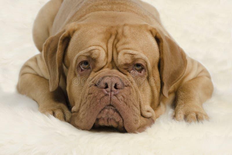 προσεκτικό σκυλί φωτογραφικών μηχανών που φαίνεται ζαρωμένο στοκ εικόνες