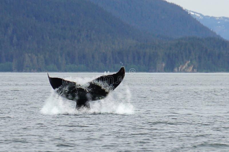 Προσοχή φαλαινών, humpback φάλαινες στην Αλάσκα στοκ φωτογραφία
