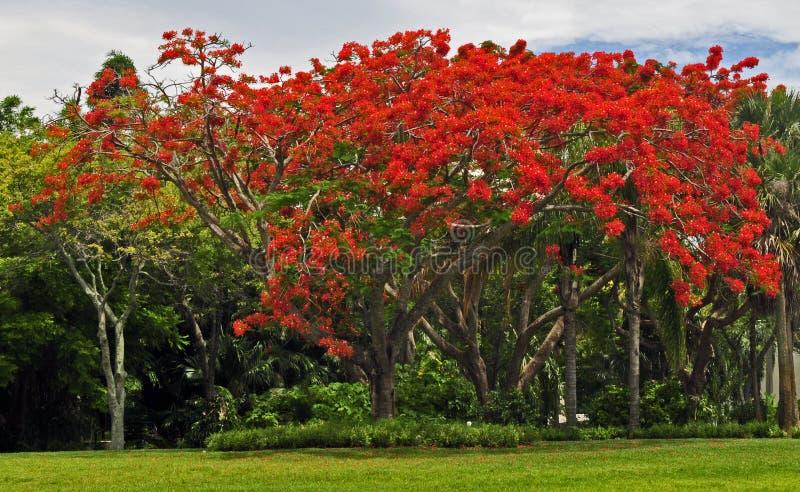 προστατευόμενο δέντρο poinciana στοκ εικόνα με δικαίωμα ελεύθερης χρήσης
