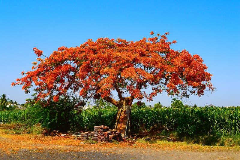 Προστατευόμενο δέντρο Gulmohar, regia Poinciana Delonix κοντά σε Pune, Maharashtra στοκ εικόνες