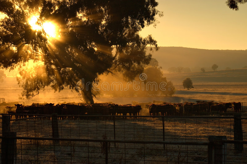 πρωί βοοειδών στοκ φωτογραφία