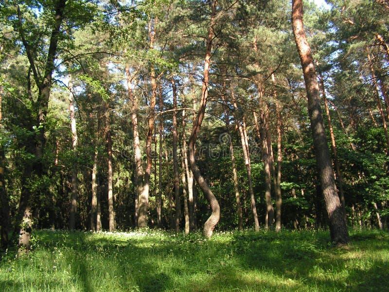 Πρωί σε ένα δάσος πεύκων στοκ φωτογραφίες