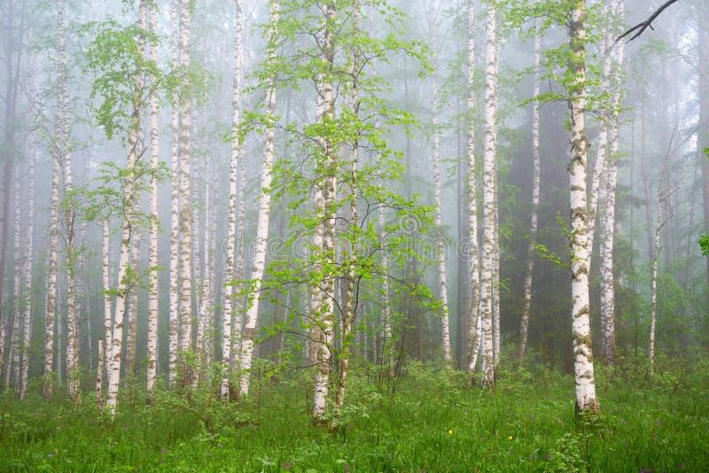 Πρωί στο δάσος σημύδων στοκ φωτογραφίες με δικαίωμα ελεύθερης χρήσης