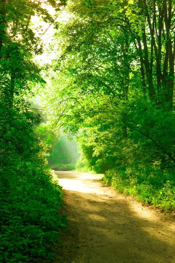 Πρωινός ήλιος στο δάσος πράσινο φυλλοβόλο στέμμα και χωματόδρομος στοκ εικόνες