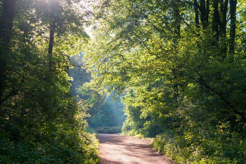 Πρωινός ήλιος στο δάσος πράσινο φυλλοβόλο στέμμα και χωματόδρομος στοκ εικόνα με δικαίωμα ελεύθερης χρήσης