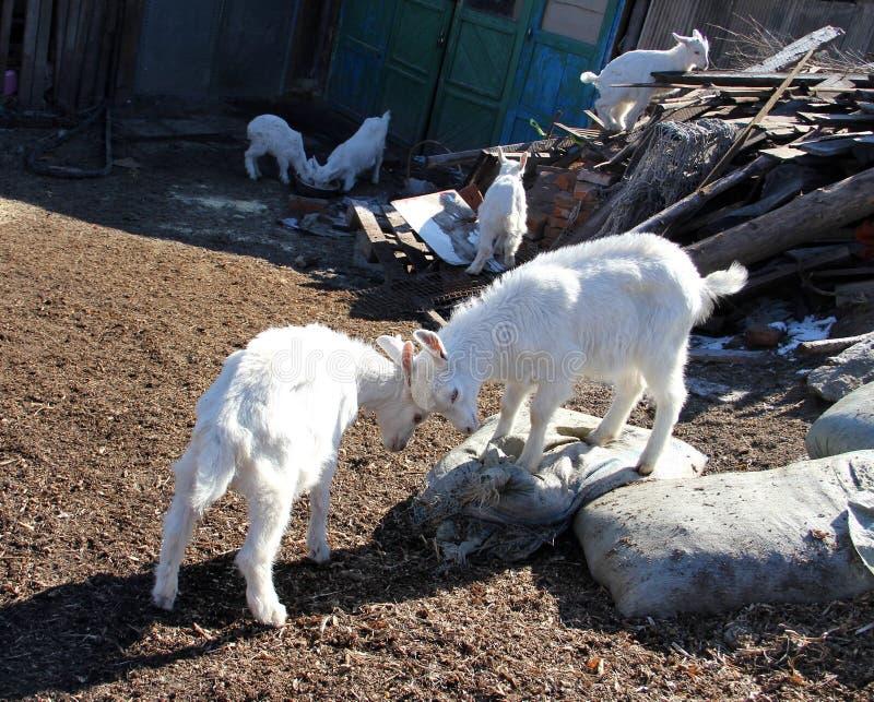 Πρόβατα  ένα επώνυμο στοκ εικόνα