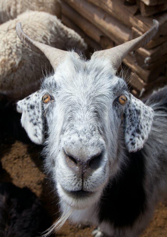 πρόβατα αιγών στοκ φωτογραφία με δικαίωμα ελεύθερης χρήσης