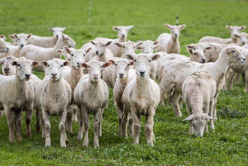 πρόβατα απογυμνωμένα στοκ φωτογραφία
