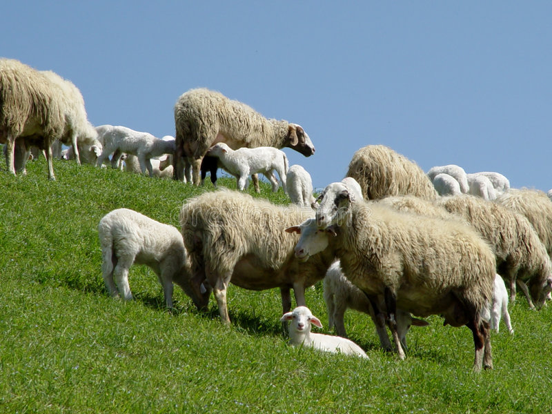 Download πρόβατα αρνιών στοκ εικόνα. εικόνα από λόφοι, smugs, πουλόβερ - 102455
