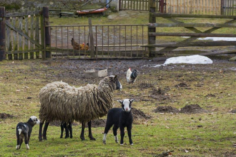 πρόβατα αρνιών στοκ εικόνα