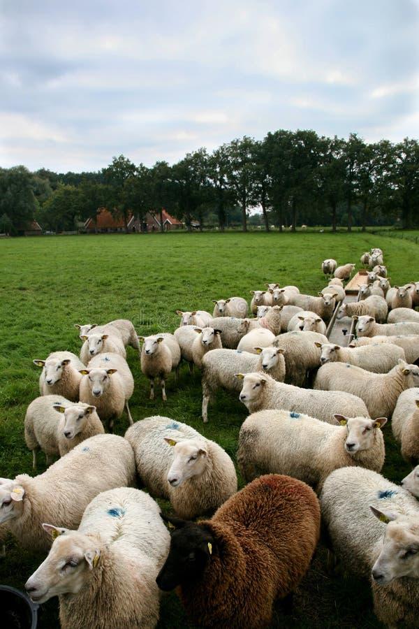πρόβατα βοοειδών στοκ φωτογραφία
