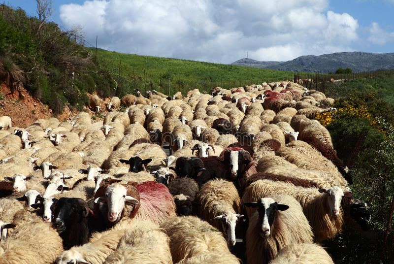 πρόβατα κίνησης στοκ εικόνες με δικαίωμα ελεύθερης χρήσης