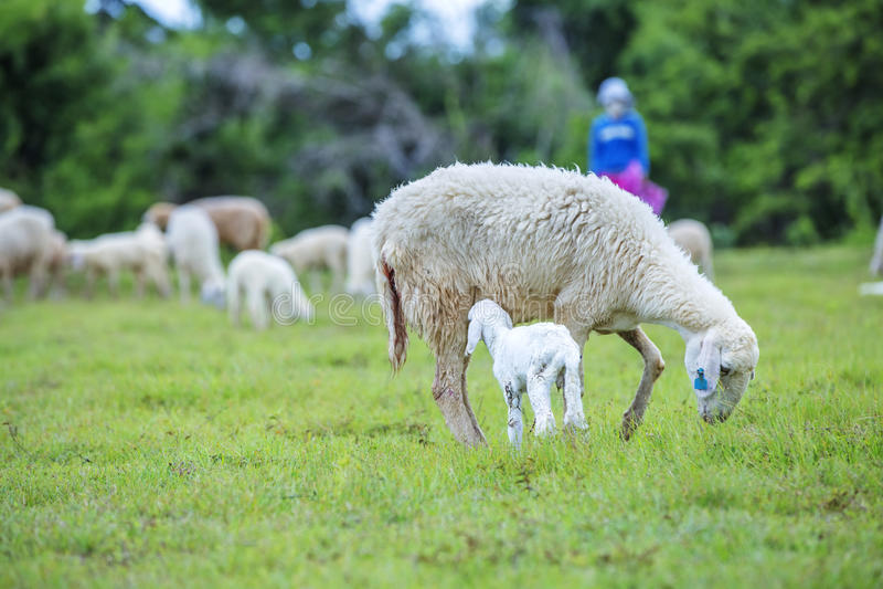 Πρόβατα και αγρότης στοκ εικόνα με δικαίωμα ελεύθερης χρήσης
