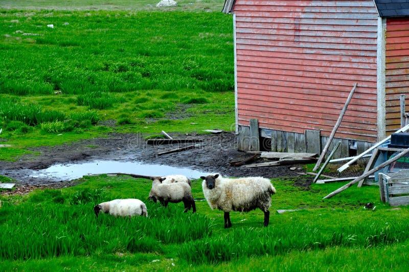 Πρόβατα και κόκκινη σιταποθήκη στοκ φωτογραφία