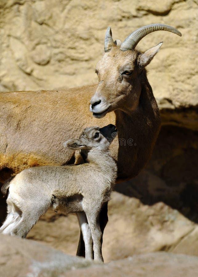 Πρόβατα και μητέρα Bighorn μωρών στοκ εικόνα