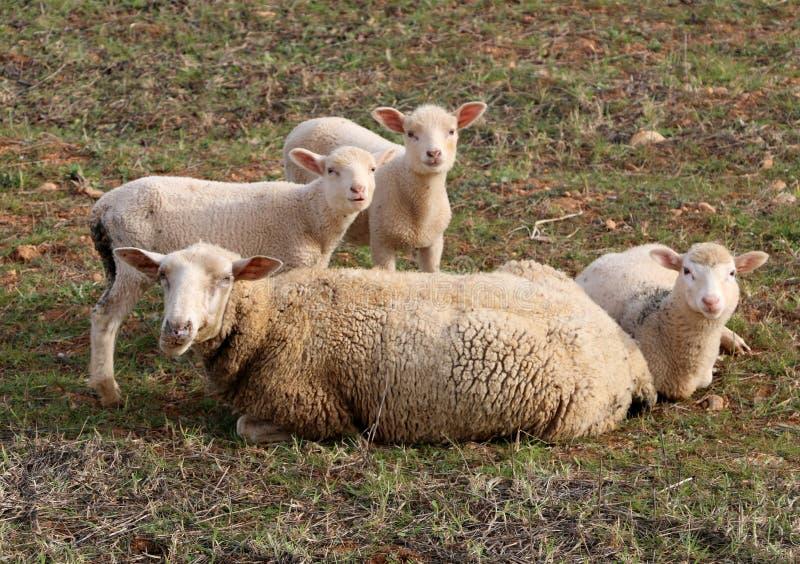πρόβατα και μόσχοι στη χλόη στοκ εικόνες με δικαίωμα ελεύθερης χρήσης