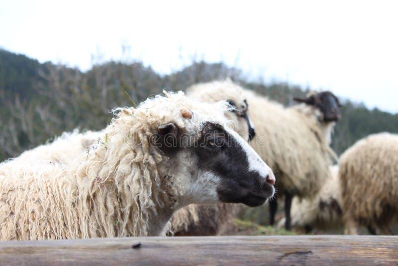 Πρόβατα και νέα αρνιά στοκ φωτογραφία με δικαίωμα ελεύθερης χρήσης