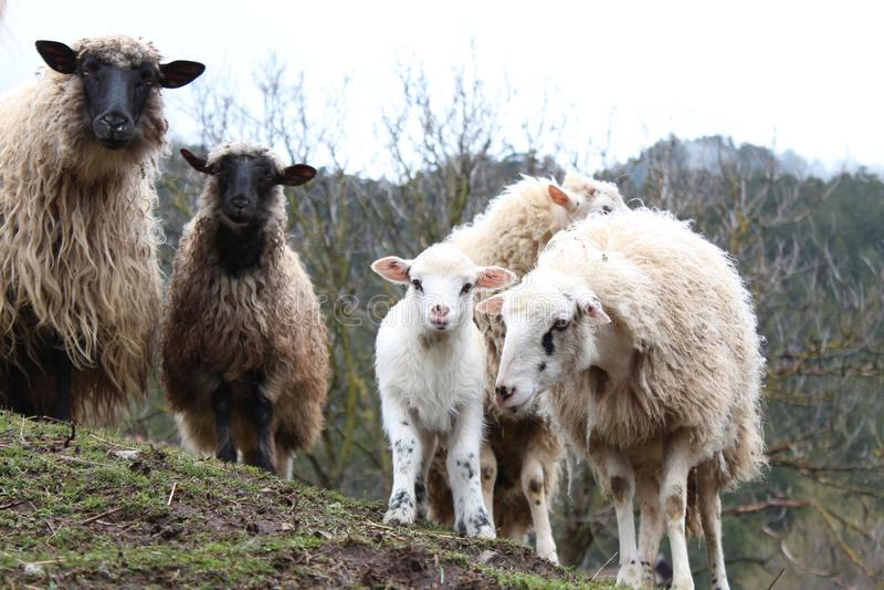 Πρόβατα και νέα αρνιά στοκ εικόνες με δικαίωμα ελεύθερης χρήσης
