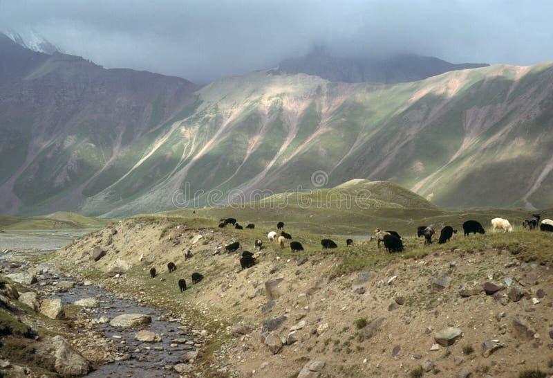 πρόβατα κατά τη βοσκή πόλο marco στοκ εικόνα
