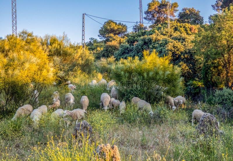 Πρόβατα κατά τη βοσκή σε έναν τομέα και που τρώνε τη χλόη Όμορφο βράδυ στην Ισπανία στοκ εικόνα με δικαίωμα ελεύθερης χρήσης