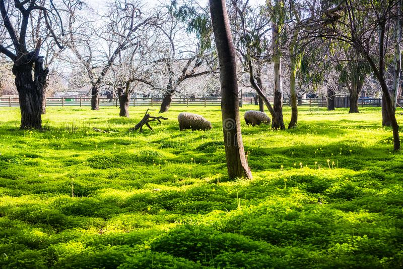 Πρόβατα κατά τη βοσκή σε ένα λιβάδι που καλύπτεται στα λουλούδια νεραγκουλών των Βερμούδων στοκ φωτογραφία με δικαίωμα ελεύθερης χρήσης