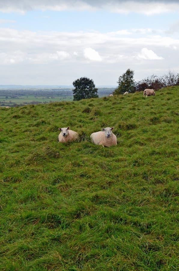 Πρόβατα κατά τη βοσκή στα επίπεδα Somerset στοκ εικόνα