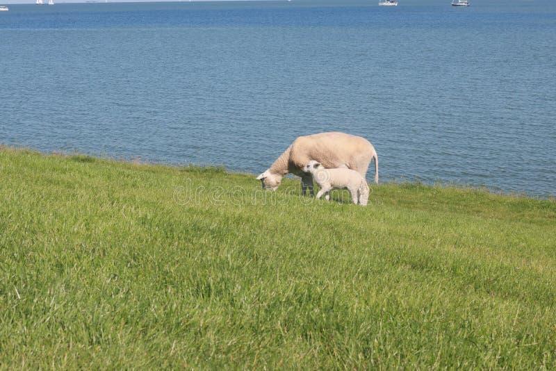 Πρόβατα κατά τη βοσκή στους πράσινους τομείς στην ακτή στοκ εικόνες με δικαίωμα ελεύθερης χρήσης