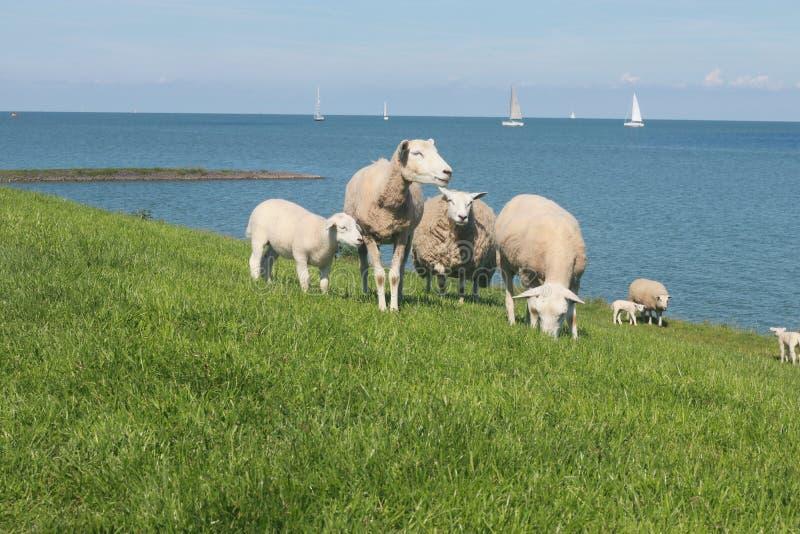 Πρόβατα κατά τη βοσκή στους πράσινους τομείς στην ακτή στοκ φωτογραφίες με δικαίωμα ελεύθερης χρήσης