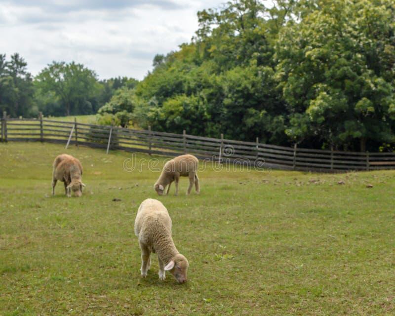 Πρόβατα κατά τη βοσκή στο λιβάδι με τον ξύλινο φράκτη στοκ εικόνα με δικαίωμα ελεύθερης χρήσης